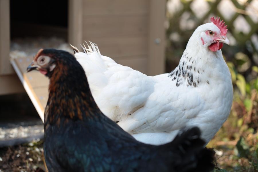 poulettes_1